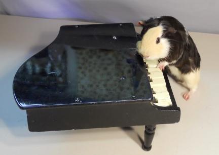 Guinea Pig Agility - Trick Training